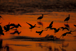 Willets in flight at sunset