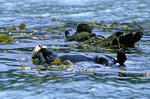 Sea otters wrapped in seaweed