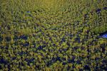 Cabbage palmettos