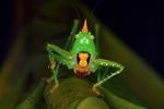 Conhead katydid