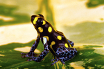 Brazilian poison frog