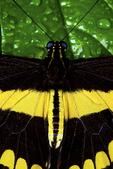 Thoas swallowtail buterfly