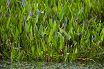 Limpkin in pickerel weed with apple snail egg clusters