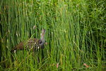 Limpkin in Soft-stem bulrush with apple snail