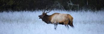Manitoban elk in frosted field