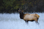 Manitoban elk in frosted field