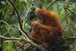 Sumatran orangutan in a night nest