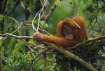 Sumatran orangutan in a night nest
