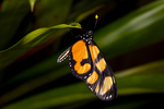 Dero clearwing butterfly
