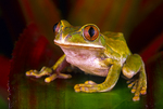 Green bigeyed tree frog