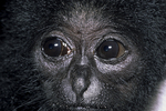 Kloss gibbon