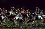 Whit ibis