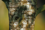 Woodpecker boring holes from Red-bellied woodpecker