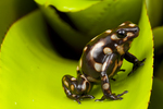 Campana poison frog