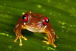 Rufous eyed-brook frog