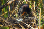 Green heron with eggs