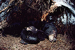 Black Bear (Ursus americanus) mother hibernating with cub, Minnesota