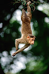Macaque (Macaca sp.) hanging in tree, Nilgiri Hills, India