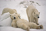 Polar Bear (Ursus maritimus) trio loafing in snow, Churchill, Manitoba, Canada