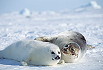Harp Seal (Phoca groenlandica) mother and pup, Gulf of St Lawrence, Canada