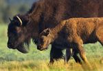 American Bison (Bison bison) calf with parent, North America