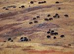 American Bison (Bison bison) herd grazing on prairie, North America