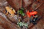 Strawberry Poison Dart Frog (Dendrobates pumilio) group showing color variation from different islands of Bocas del Toro, Panama