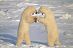 Polar Bear (Ursus maritimus) males fighting, Churchill, Manitoba, Canada