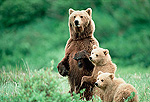 Alaskan Brown Bear or Grizzly Bear (Ursus arctos) mother standing with two cubs, Alaska