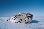 Harp Seal (Phoca groenlandica) resting on snow, Gulf of St Lawrence, Canada