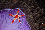 Candy-cane Sea Star (Fromia monilis) on Sea Anemone's (Heteractis magnifica) foot, Sipidan Island, Borneo