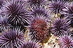 Purple Sea Urchin (Strongylocentrotus purpuratus) group feeds on algae, southern California