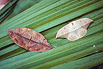 Dead-leaf Moth looks like a dead leaf when at rest, Panama Rainforest
