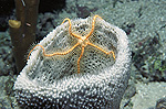 Brittle Star (Ophiothrix suensonii) on vase sponge in the Caribbean sea, Roatan Island, Honduras