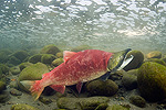Sockeye Salmon (Oncorhynchus nerka) struggling up river to spawn, British Columbia, Canada