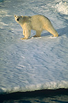 Polar Bear (Ursus maritimus) hunting on summer fjord ice, Spitsbergen, Svalbard, Norwegian Arctic