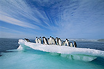 Adelie Penguin (Pygoscelis adeliae) group crowding on melting summer ice floe, Possession Island, Ross Sea, Antarctica