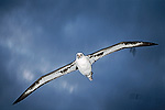 Laysan Albatross (Diomedea immutabilis) flying in towards breeding grounds, Midway Atoll, Hawaii