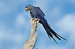 Hyacinth Macaw (Anodorhynchus hyacinthinus) in tree, endangered, Pantanal, Brazil