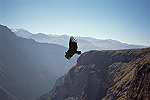 Andean Condor (Vultur gryphus) soaring on thermal updraft over 3,400-meter-deep Colca Canyon, Peru