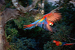 Scarlet Macaw (Ara macao) in flight in rainforest canopy, upper Tambopata River, Peruvian Amazon, Peru