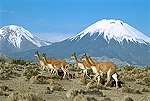 Vicuna (Vicugna vicugna) family herd in Andean desert with snow-capped Parincota Volcano in background, Lauca National Park, Chile