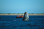 Gray Whale (Eschrichtius robustus) spy-hopping near whale watchers, winter breeding lagoon, Magdalena Bay, Baja California, Mexico