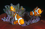 Clown Anemonefish (Amphiprion percula) Milne Bay, Papua New Guinea
