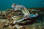 Australian Giant Cuttlefish (Sepia apama) male sparring to attain females, Australia