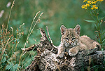 Bobcat (Lynx rufus) kitten, resting on a log in the summer, Idaho