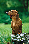 Standard Smooth Dachshund (Canis familiaris) adult with front legs up on a rock on green lawn