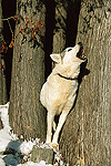 Siberian Husky (Canis familiaris) adult howling