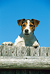 Jack Russell or Parson Terrier (Canis familiaris) adult peering over a fence