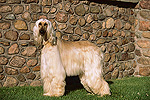 Afghan Dog (Canis familiaris) portrait